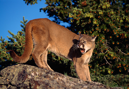 COU 01 TL0009 01 © Kimball Stock Portrait Of Cougar On Rock Growling