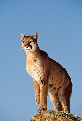 COU 01 TL0012 01 © Kimball Stock Portrait Of Cougar Standing On Rock Blue Sky Background