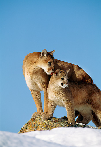 COU 01 TL0013 01 © Kimball Stock Portrait Of Cougar Mother Licking Cub Standing On Rock Blue Sky Background
