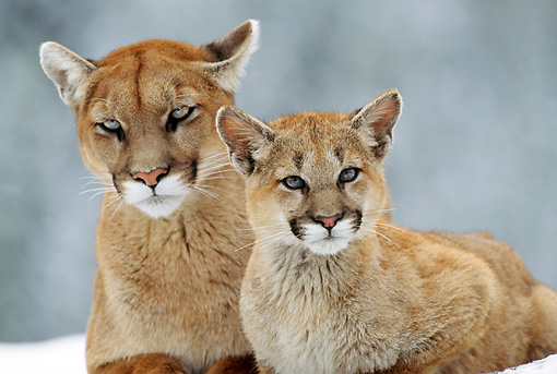 COU 01 TL0014 02 © Kimball Stock Portrait Of Cougar Mother And Cub Laying On Rock