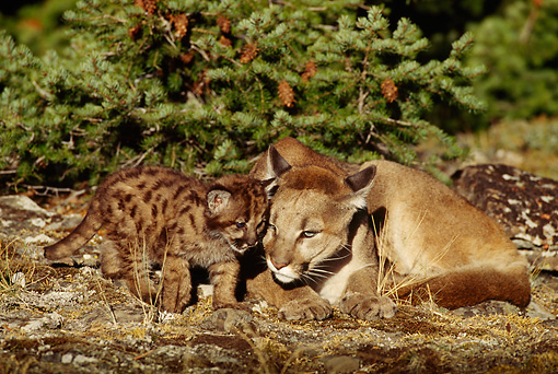 COU 01 TL0016 01 © Kimball Stock Cougar Mother Nuzzling Cub On Ground By Evergreen Tree