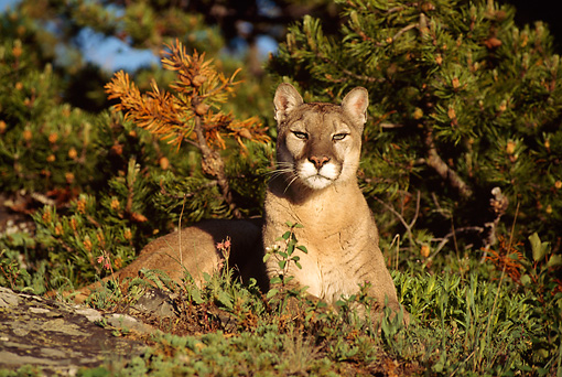 COU 01 TL0017 01 © Kimball Stock Portrait Of Cougar Laying On Ground By Evergreens