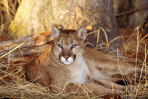 COU 01 TL0018 01 © Kimball Stock Portrait Of Cougar Laying On Dry Grass By Rock