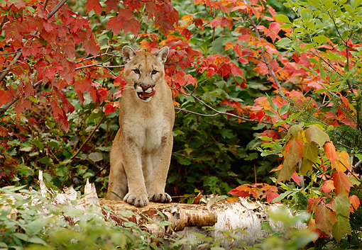 COU 01 TL0019 01 © Kimball Stock Cougar Standing On Log Licking Lips Under Branch With Red Leaves