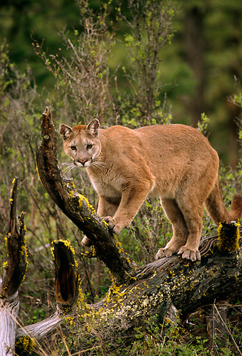 COU 01 TL0020 01 © Kimball Stock Portrait Of Cougar Climbing Rotting Log In Forest Clearing