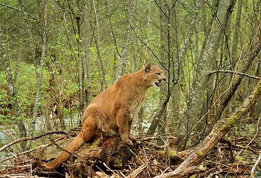 COU 01 TL0021 01 © Kimball Stock Profile Of Cougar Sitting Atop Tree Stump In Forest