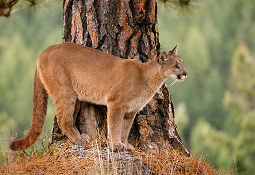 COU 01 TL0022 01 © Kimball Stock Profile Of Cougar Standing At Base Of Pine Tree