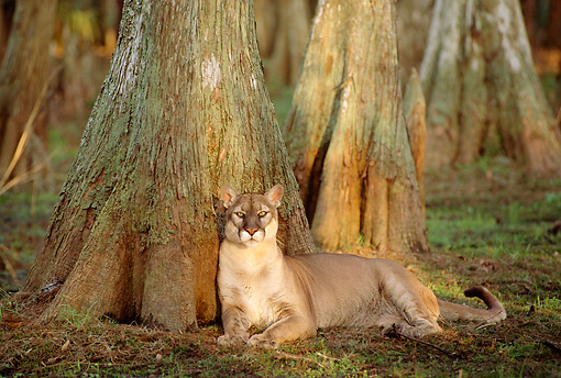 COU 01 TL0023 01 © Kimball Stock Portrait Of Florida Panther Laying At Base Of Cypress Tree In Swamp