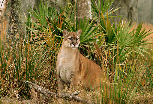 COU 01 TL0025 01 © Kimball Stock Portrait Of Florida Panther Sitting In Grass By Palmetto