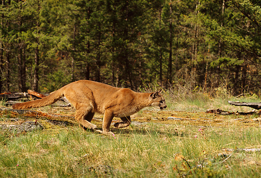 COU 01 TL0026 01 © Kimball Stock Profile Of Florida Panther Running On Grass Along Edge Of Pine Forest