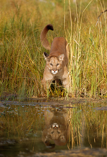COU 01 TL0027 01 © Kimball Stock Head On View Of Florida Panther Standing In Tall Grass At Edge Of Water