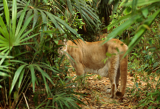 COU 01 TL0028 01 © Kimball Stock Florida Panther Heading Into Swamp Looking Back Over Shoulder At Camera