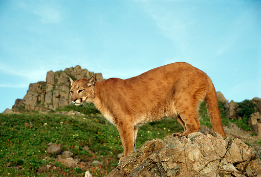 COU 01 TL0029 01 © Kimball Stock Portrait Of Cougar Standing On Rocky Outcrop Blue Sky Mountain