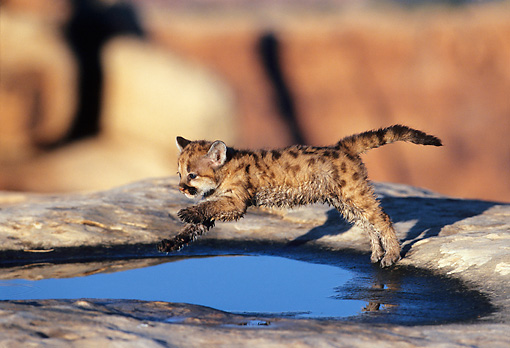 COU 02 KH0002 01 © Kimball Stock Mountain Lion Cub Jumping Over Puddle On Boulder