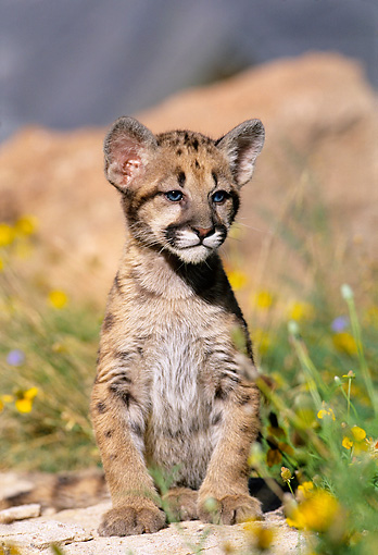 COU 02 KH0003 01 © Kimball Stock Mountain Lion Cub Sitting On Rock