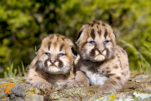 COU 02 KH0004 01 © Kimball Stock Two Mountain Lion Cubs Laying On Rock