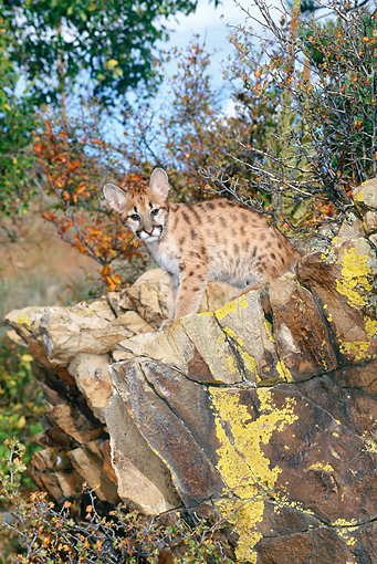 COU 02 KH0005 01 © Kimball Stock Mountain Lion Cub Sitting On Boulder