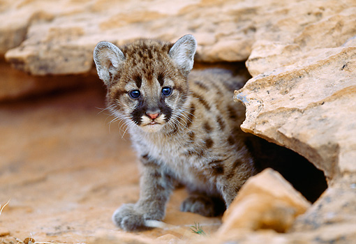 COU 02 MC0002 01 © Kimball Stock Portrait Of Cougar Cub Sitting On Red Dirt Under Rock Utah