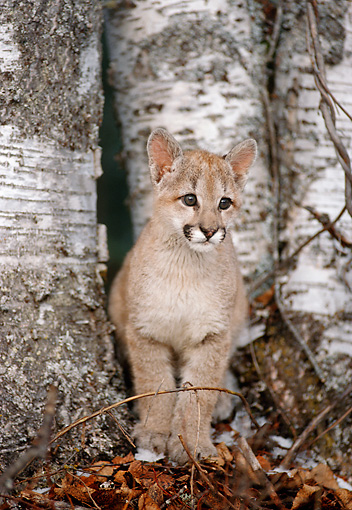 COU 02 MC0004 01 © Kimball Stock Portrait Of Cougar Cub Sitting By Birch Trees