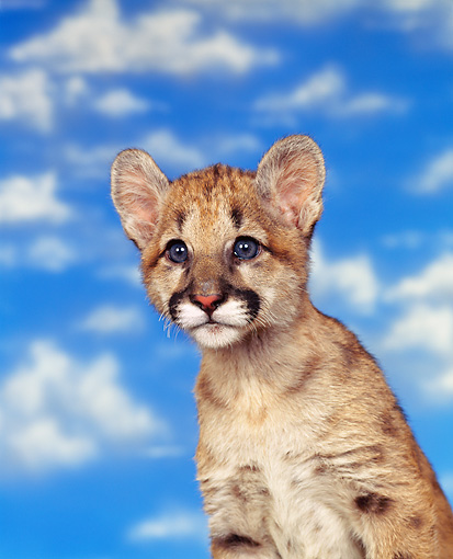 COU 02 RK0003 03 © Kimball Stock Head Shot Of Cougar Cub Sitting Clouds Blue Sky
