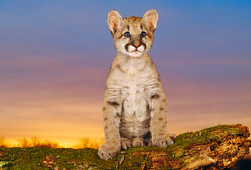 COU 02 RK0120 01 © Kimball Stock Cougar Cub Sitting On Log