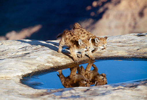 COU 02 RK0149 01 © Kimball Stock Cougar Cubs Walking By Puddle On Rock