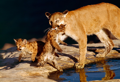 COU 02 RK0165 01 © Kimball Stock Cougar and Cubs By Water