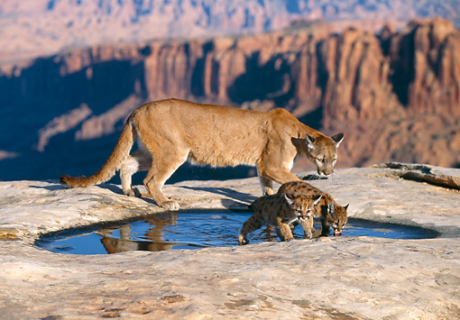 COU 02 RK0166 03 © Kimball Stock Cougar And Cubs Walking Along On Rock Pavement By Water
