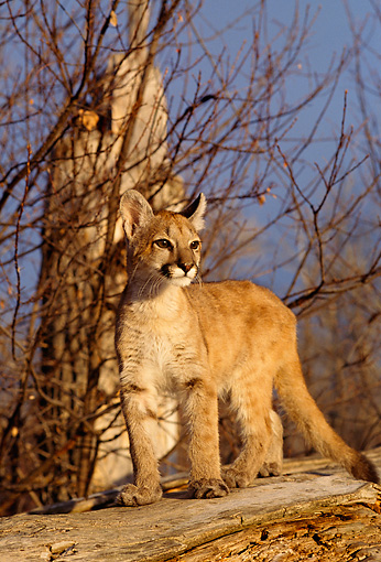 COU 02 DB0001 01 © Kimball Stock Mountain Lion Cub Standing On Fallen Tree