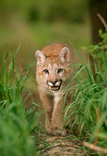 COU 02 DB0003 02 © Kimball Stock Head On Shot Of Mountain Lion Cub Approaching Camera On Fallen Tree