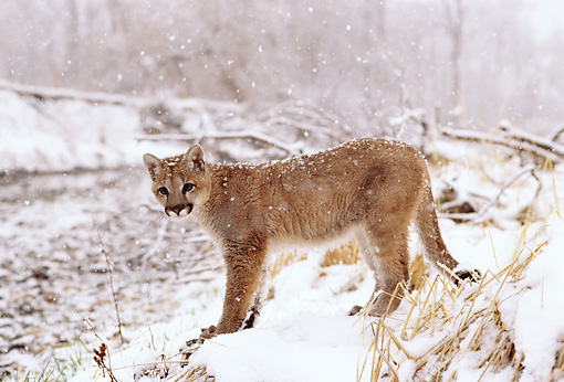 COU 02 DB0004 01 © Kimball Stock Profile Of Mountain Lion Cub Standing Near Stream In Snowstorm