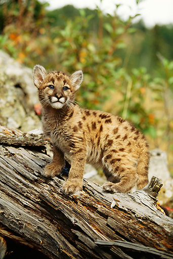 COU 02 DB0008 01 © Kimball Stock Mountain Lion Kitten Standing On Log On Hillside