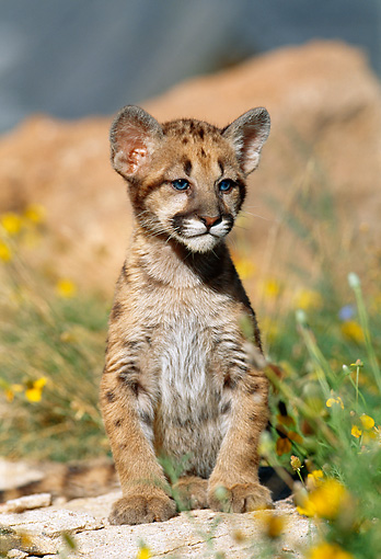 COU 02 KH0001 01 © Kimball Stock Cougar Cub Sitting On Rock