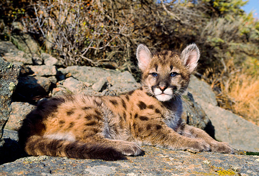 COU 02 NE0003 01 © Kimball Stock Mountain Lion Cub Laying On Rock By Trees Shrubs Montana