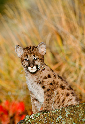 COU 02 NE0004 01 © Kimball Stock Mountain Lion Cub Sitting On Rock By Tall Grass Montana