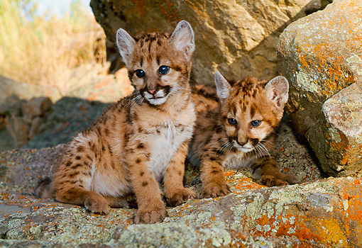 COU 02 NE0005 01 © Kimball Stock Two Mountain Lion Cubs Sitting On Rocks In Shade Montana