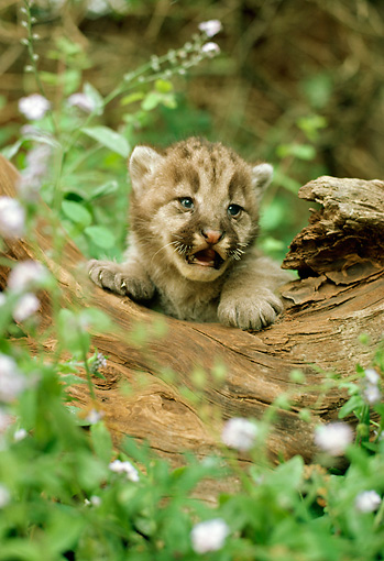 COU 02 RC0001 01 © Kimball Stock Head Shot Of Cougar Kitten Climbing On Log