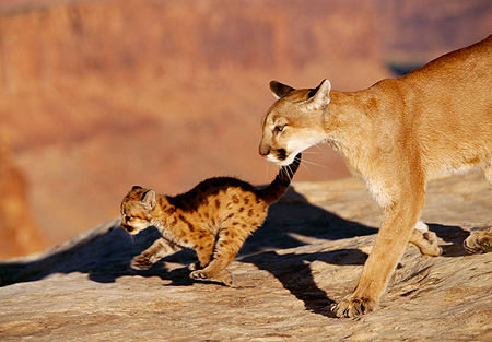 COU 02 RK0167 01 © Kimball Stock Mother Cougar and Cub On Rock Mountain