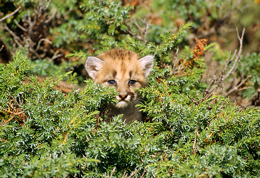COU 02 RW0002 01 © Kimball Stock Mountain Lion Cub Hiding In Shrub