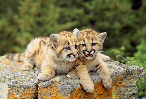 COU 02 RW0003 01 © Kimball Stock Mountain Lion Cubs Laying On Rock