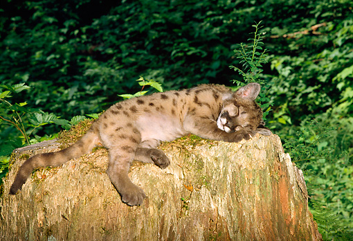 COU 02 TK0001 01 © Kimball Stock Cougar Kitten Sleeping On Tree Stump