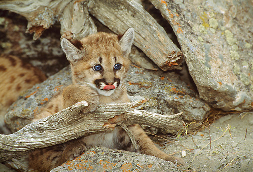 COU 02 TK0002 01 © Kimball Stock Cougar Kitten Exploring By Logs And Rocks