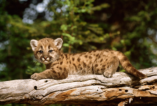 COU 02 TL0002 01 © Kimball Stock Cougar Cub Laying On Log With Evergreen Tree Background