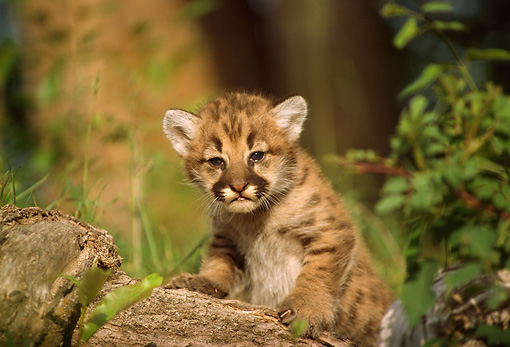 COU 02 TL0003 01 © Kimball Stock Cougar Cub Climbing On Rock In Woods In Summer