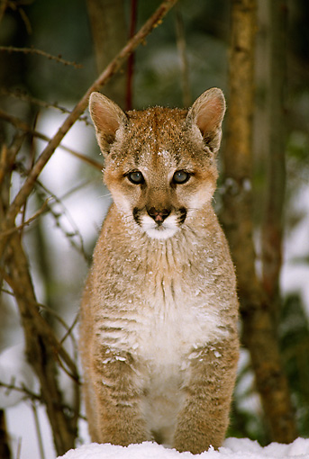 COU 02 TL0004 01 © Kimball Stock Portrait Of Cougar Cub Standing In Snow Facing Camera By Woods