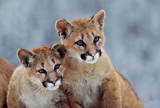 COU 02 TL0005 01 © Kimball Stock Portrait Of Two Cougar Cubs Huddling On Rock