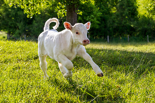 COW 01 KH0012 01 © Kimball Stock Charolais Calf Running In Pasture, France