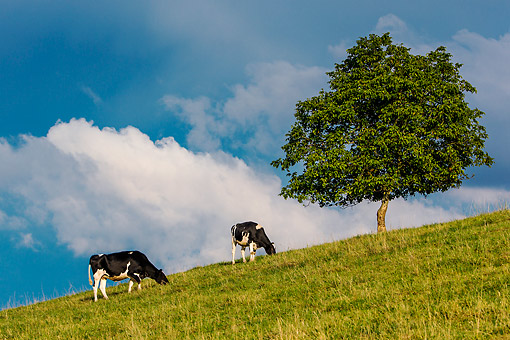 COW 01 KH0016 01 © Kimball Stock Holstein Cows Grazing On Hill By Walnut Tree, France