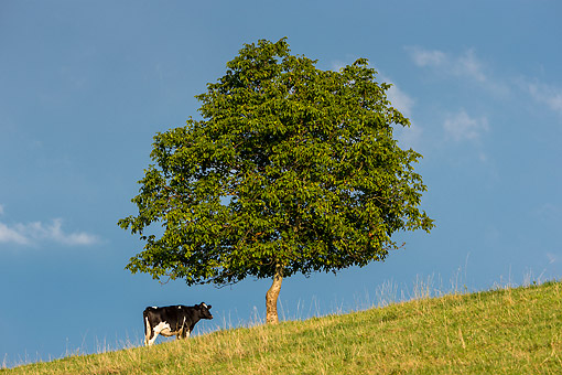 COW 01 KH0017 01 © Kimball Stock Holstein Friesian Cow Grazing On Hill By Walnut Tree, France