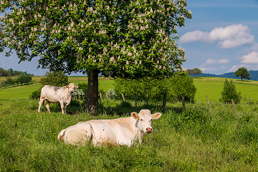 COW 01 KH0024 01 © Kimball Stock Charolais Cows In Pasture Under Flowering Chestnut Tree, France